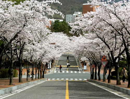 Keimyung University Campus Cherry Blossom